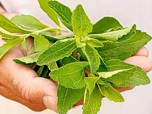 растение стевия полезные свойства