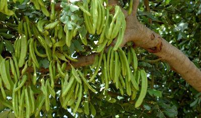 Кэроб (рожковое дерево)